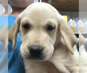 Labrador Retriever Litter for sale in PINE ISLAND, MN, USA