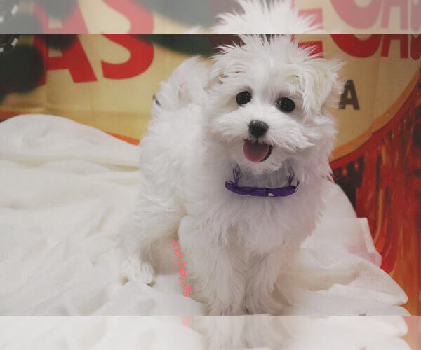 Medium Photo #1 Maltese Puppy For Sale in LAS VEGAS, NV, USA