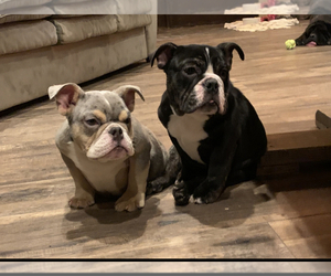English Bulldogge Litter for sale in HUSON, MT, USA