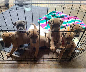 Blue Lacy Litter for sale in LAKE JACKSON, TX, USA