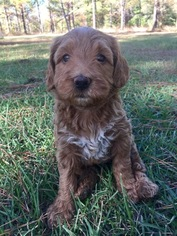 View Ad: Goldendoodle Litter of Puppies for Sale near