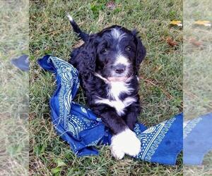 Aussiedoodle-Poodle (Standard) Mix Litter for sale in ANDERSON, AL, USA