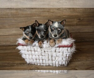 Australian Cattle Dog Litter for sale in HAWARDEN, IA, USA