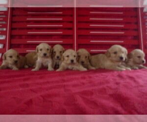 Goldendoodle (Miniature) Litter for sale in MILLERSTOWN, PA, USA