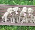 Labrador Retriever Puppy For Sale in GREENWICH, OH, USA