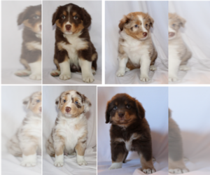 Australian Shepherd Litter for sale in LUSBY, MD, USA