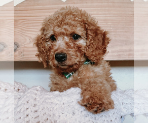 Goldendoodle Litter for sale in MOAB, UT, USA