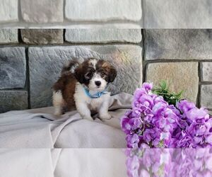 Medium Poodle (Miniature)-Saint Bernard Mix
