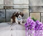 Small Poodle (Miniature)-Saint Bernard Mix