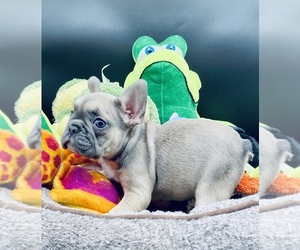 French Bulldog Litter for sale in BELLVILLE, TX, USA