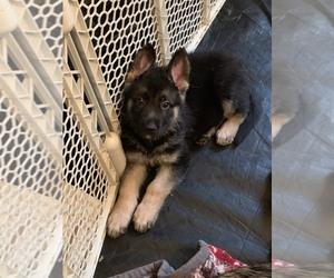 German Shepherd Dog Litter for sale in HILLSBORO, NH, USA