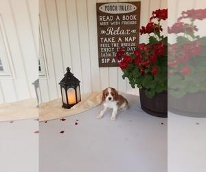 Cavalier King Charles Spaniel Litter for sale in SHIPSHEWANA, IN, USA
