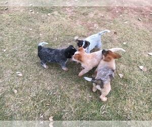 Australian Cattle Dog Litter for sale in WYARNO, WY, USA