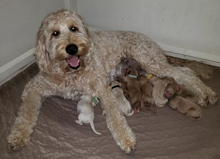 Labradoodle Puppy For Sale in WASH, NC, USA