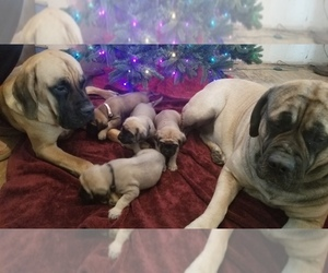 Mastiff Litter for sale in FULTON, NY, USA
