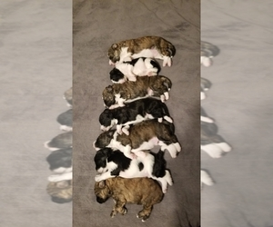 Bordoodle Litter for sale in CLEARFIELD, UT, USA