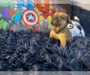 French Bulldog Litter for sale in REDMOND, WA, USA