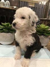 Sheepadoodle Litter for sale in PARAGOULD, AR, USA