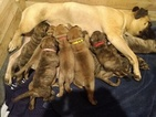Bullmastiff Puppy For Sale in WILSON, NY, USA