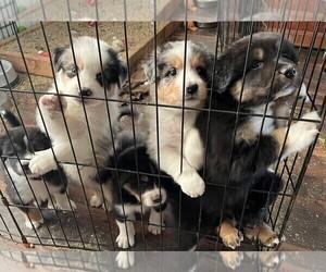 Australian Shepherd Litter for sale in PERKINSTON, MS, USA