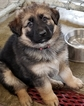 German Shepherd Dog Puppy For Sale in SHERIDAN, IN, USA