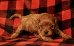 Cavapoo Puppy For Sale in PHOENIX, AZ, USA