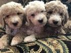 Poodle (Standard) Puppy For Sale in BOAZ, AL, USA