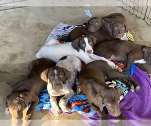 German Shorthaired Pointer Litter for sale in COULTERVILLE, CA, USA