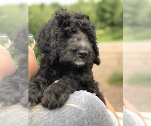 Bernedoodle Litter for sale in WINTER, WI, USA