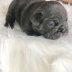 French Bulldog Puppy For Sale in SAINT ROBERT, MO, USA