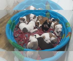 Australian Shepherd-Beagle Mix Litter for sale in BELEN, NM, USA