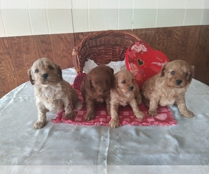 Cavapoo Litter for sale in SHIPSHEWANA, IN, USA
