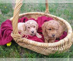 Goldendoodle-Poodle (Miniature) Mix Litter for sale in MIDLOTHIAN, TX, USA