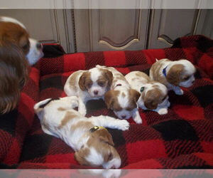 Cavalier King Charles Spaniel Litter for sale in DALLAS, TX, USA