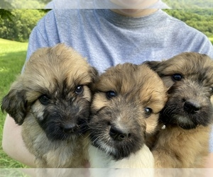 Pyredoodle Litter for sale in HARROGATE, TN, USA