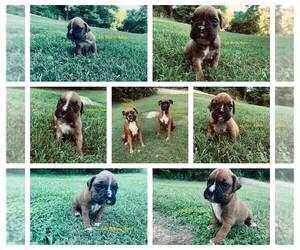 Boxer Litter for sale in GOODLETTSVILLE, TN, USA