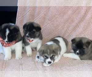 Akita Litter for sale in REEDS SPRING, MO, USA