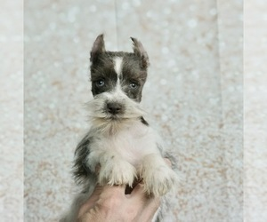 Medium Schnauzer (Miniature)