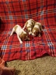 Brittany Puppy For Sale in COALDALE, NV, USA
