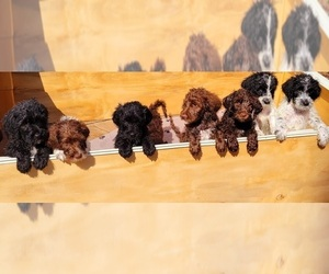 Labradoodle Litter for sale in KINGSTON, TN, USA