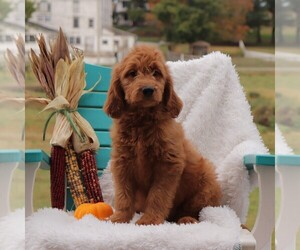 Goldendoodle Litter for sale in GAP, PA, USA