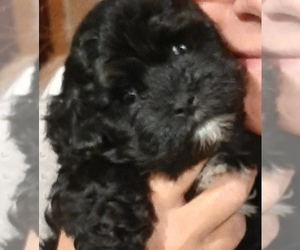 Havanese Litter for sale in HILLSBORO, OR, USA