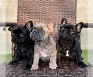 French Bulldog Litter for sale in MENTONE, CA, USA