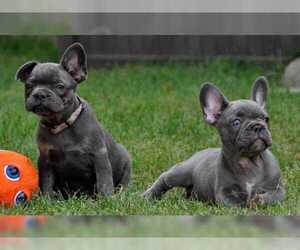 Bulldog Litter for sale in EDINA, MN, USA
