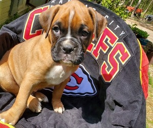 Boxer Litter for sale in GOLDEN, MO, USA