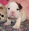 English Bulldog Puppy For Sale in LAKEWOOD VILLAGE, TX, USA