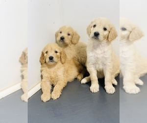 Goldendoodle Litter for sale in DURHAM, NC, USA