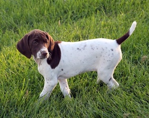 German Shorthaired Pointer Litter for sale in SAINT CHARLES, MN, USA