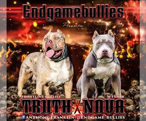 American Bully Litter for sale in ORANGEBURG, SC, USA