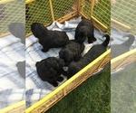 Goldendoodle Puppy For Sale in SARANAC, MI, USA